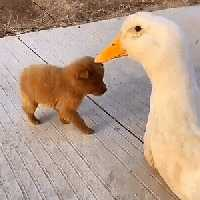 Dog and goose friends
