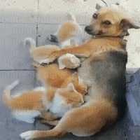 Dog adopt kittens